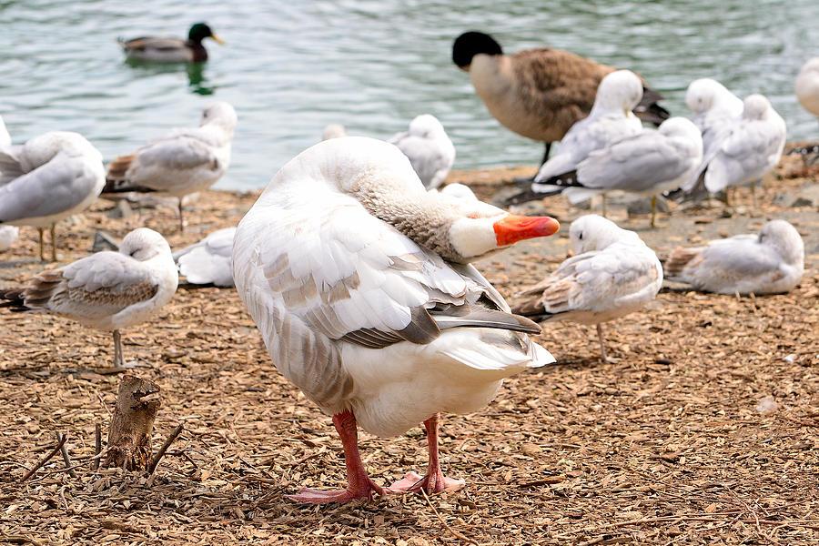 Nature Photograph - Dancing Goose 2 by Bob Gross