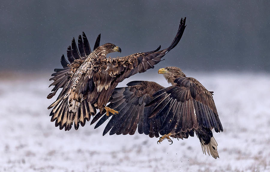 Wild Photograph - Dancing In The Snow by Xavier Ortega