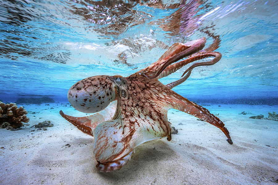 Octopus Photograph - Dancing Octopus by Barathieu Gabriel