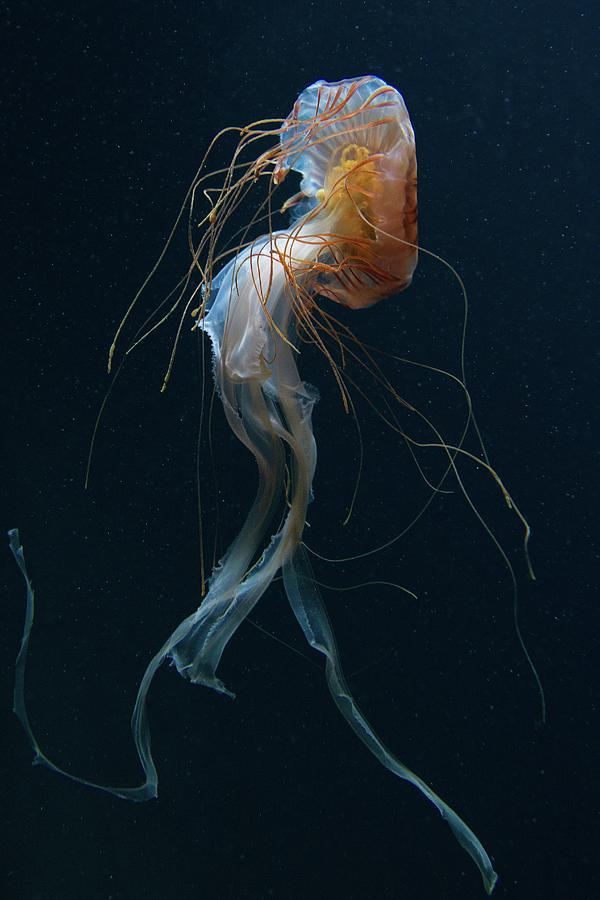 Jellyfish Photograph - Dancing Queen by Dirk Heckmann