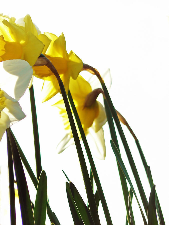 Flowers Photograph - Dancing With The Daffodils by Pamela Patch