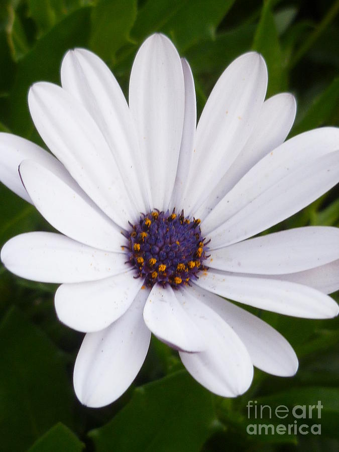 Osteospermum Photograph - Dancing With The Morning Stars by Lingfai Leung