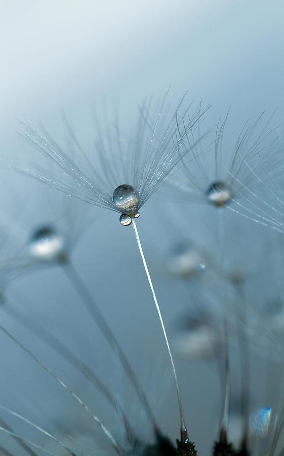 Dandelion Photograph - Dandelion - Standing Tall by Rebecca Cozart