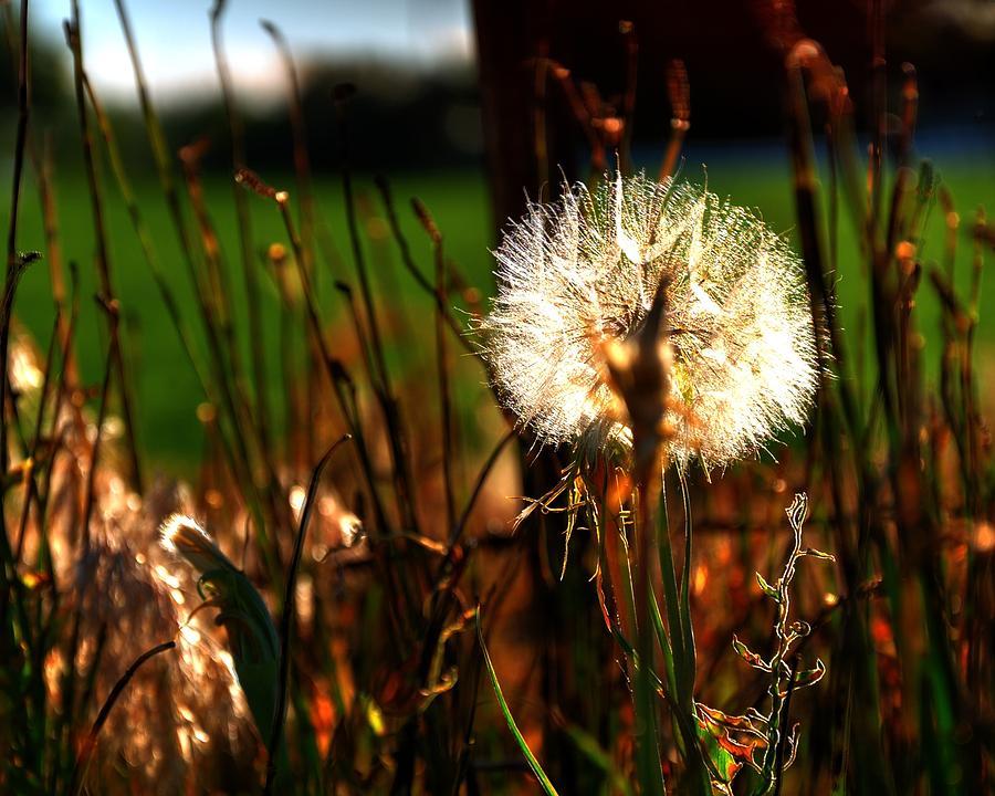 Dandelion 15759 Photograph