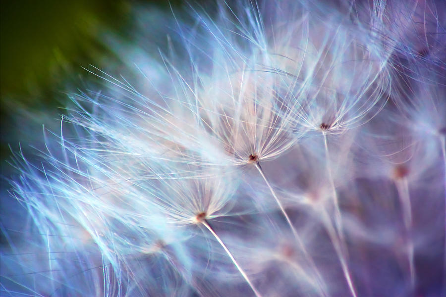 Dandelion Photograph - Purple Wisp by Damon Clarke