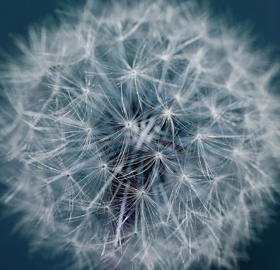 Dandelion Photograph by Andrew Dernie
