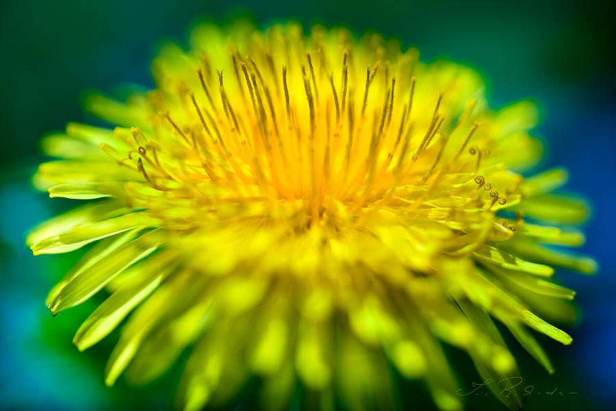 Taraxacum Photograph - Dandelion Bloom  by Iris Richardson