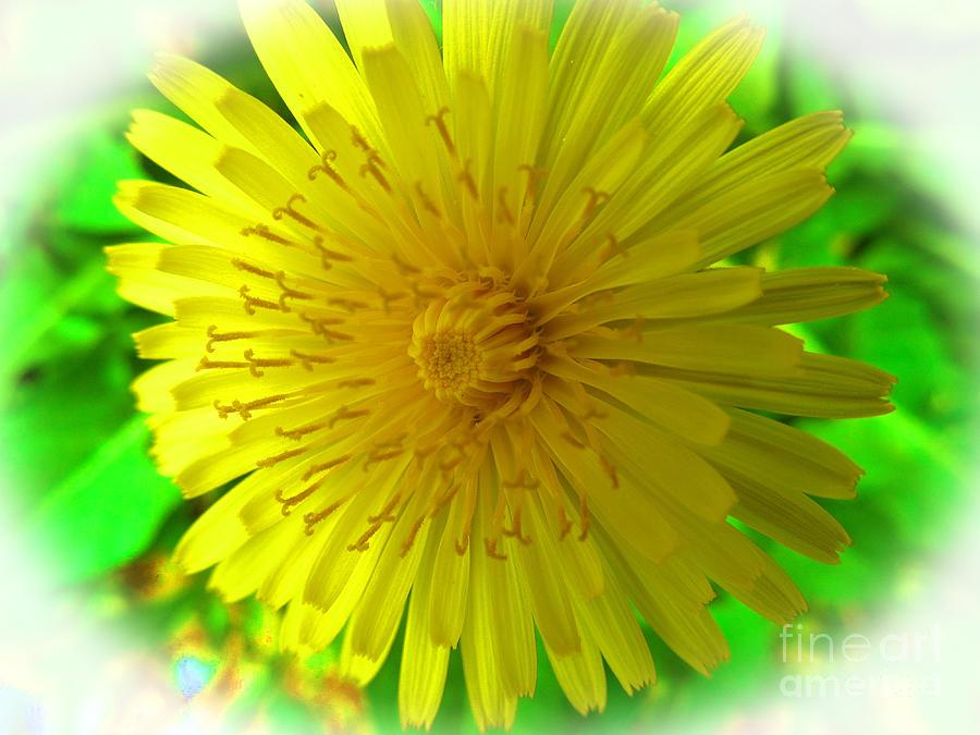 Dandelions Photograph - Dandelion Blossom by Tina M Wenger