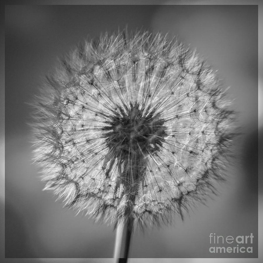 Dandelion Photograph - Dandelion by Bryan Freeman