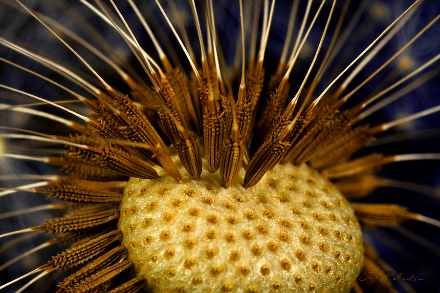 Dandelion Photograph - Dandelion Burst by Iris Richardson