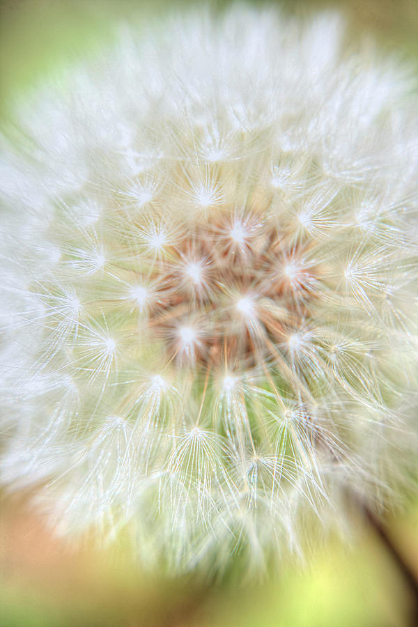 Abstract Photographs Photograph - Dandelion by Ester  Rogers