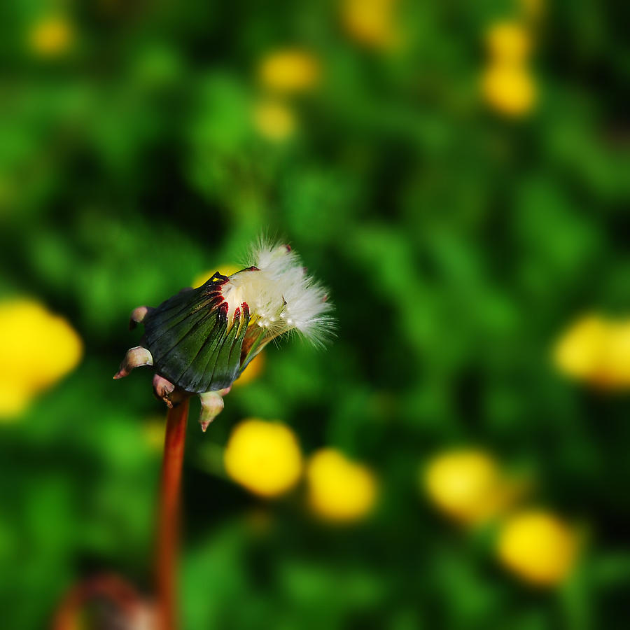 Dandelion Photograph - Dandelion In Spring by John Magnet Bell