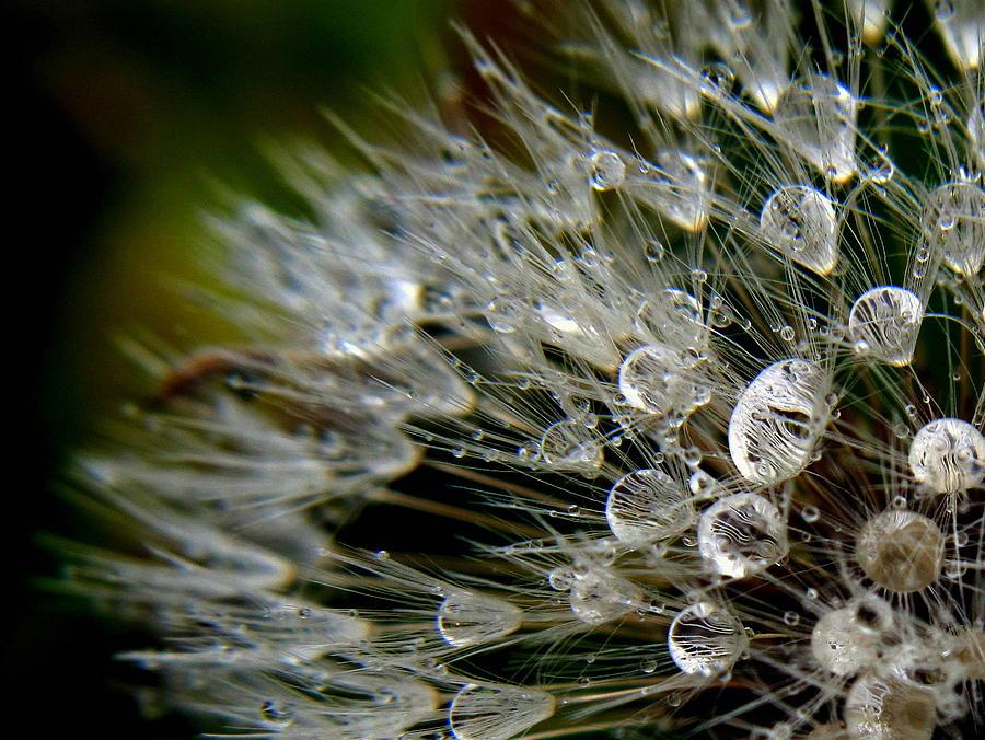 Dandelion Photograph - Dandelion Jewels by Suzy Piatt