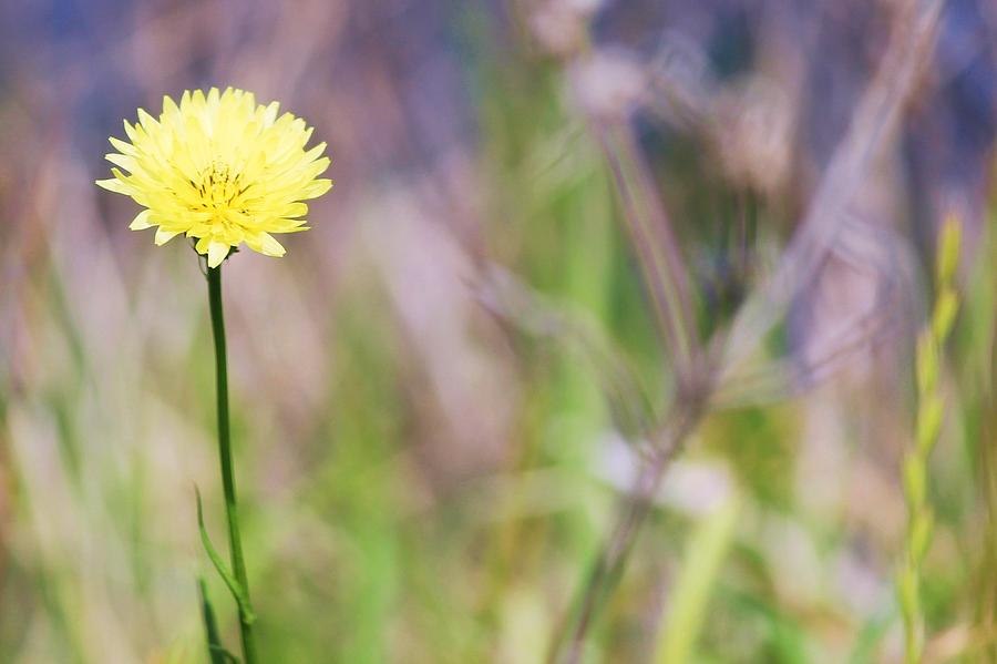 Dandelion Photograph - Dandelion by Lorri Crossno