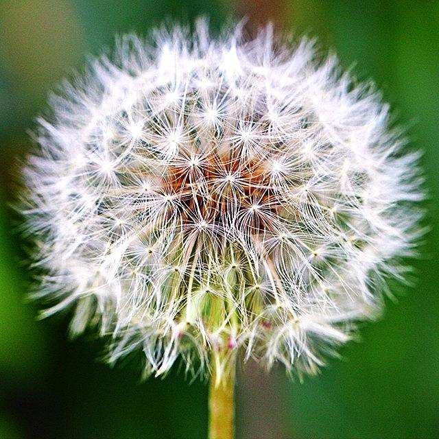 Flower Photograph - Dandelion by Luisa Azzolini