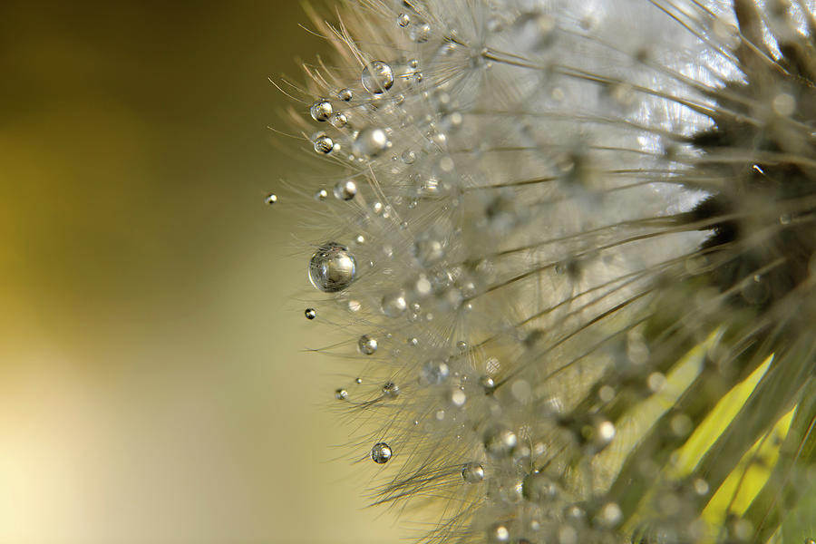 Dandelion Macro Photograph by Stock colors