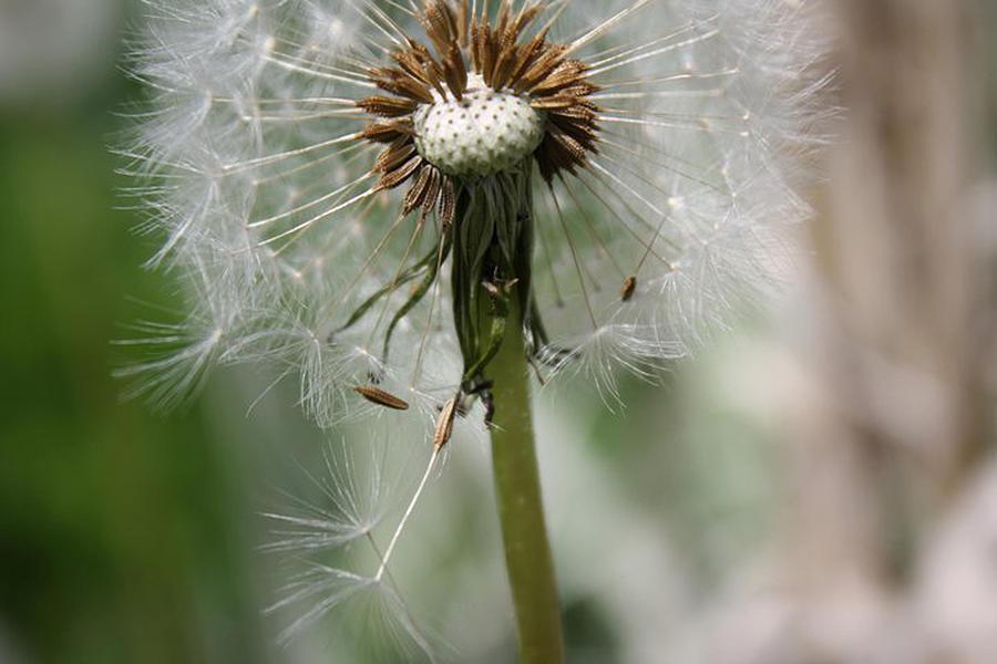 Dandelion Photograph - Dandelion by Maria Schaefers