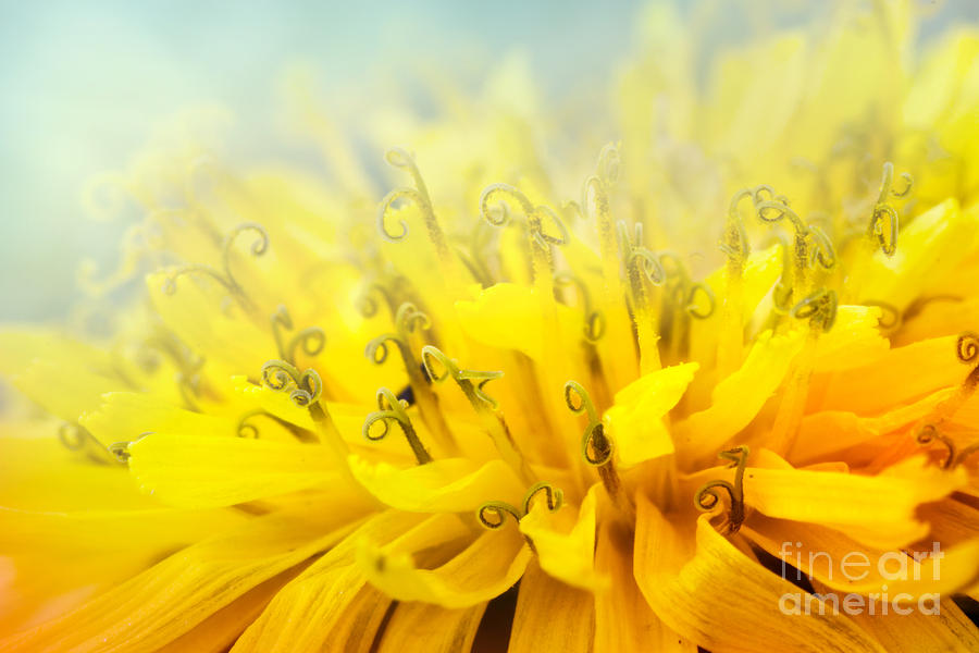 Abstract Photograph - Dandelion  by Mythja  Photography