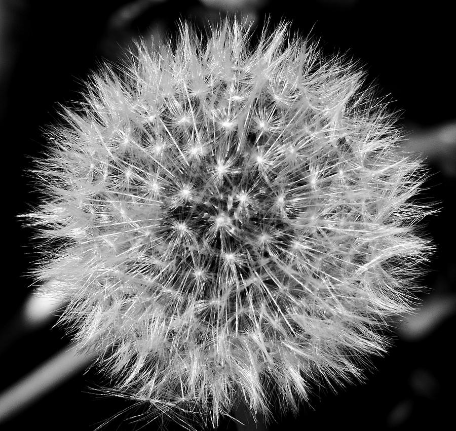 Flower Photograph - Dandelion Nebula by Thomas Samida