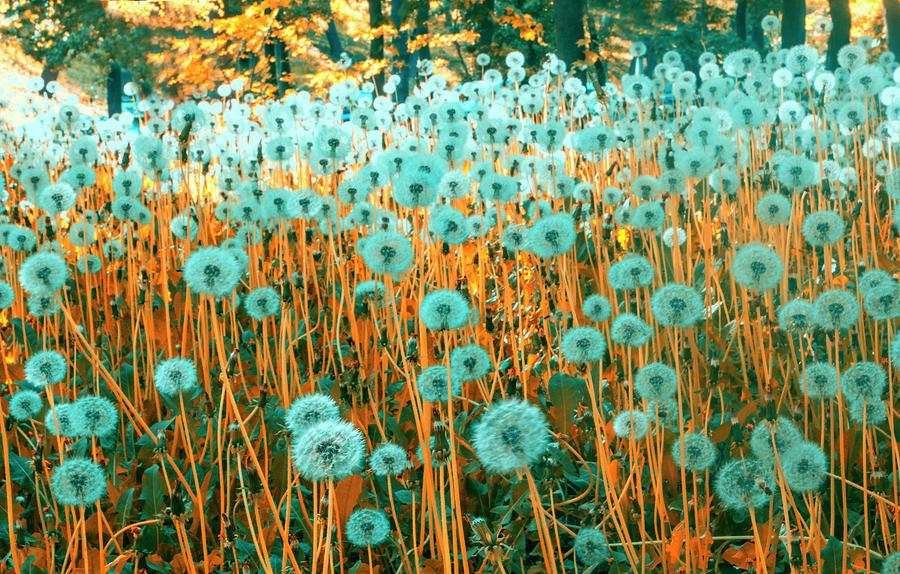 Dandelion Photograph by Ruslanhoroshko