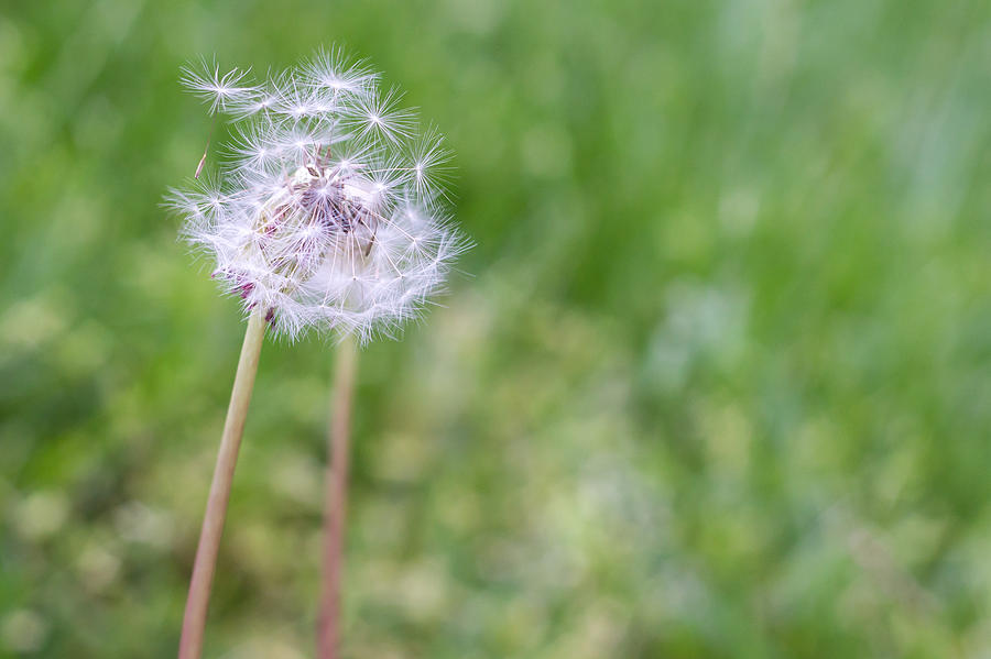 Green Photograph - Dandelion Seed Ball by James Drake