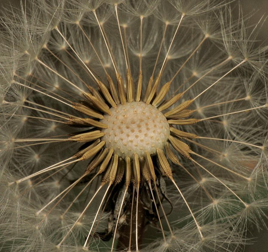 Flower Photograph - Dandelion Seed Pod by Elery Oxford