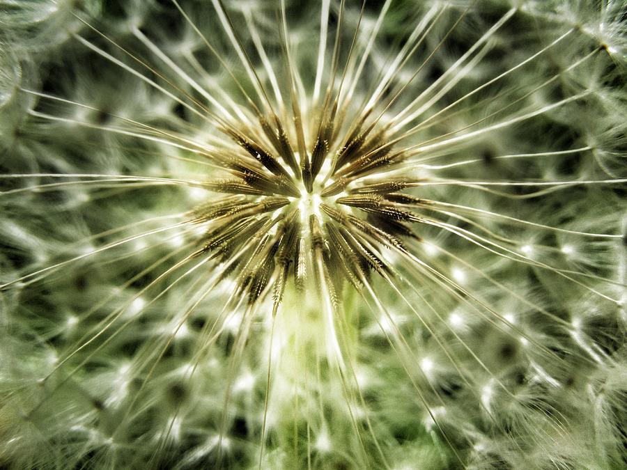 Dandelion Photograph - Dandelion Seeds by Marianna Mills