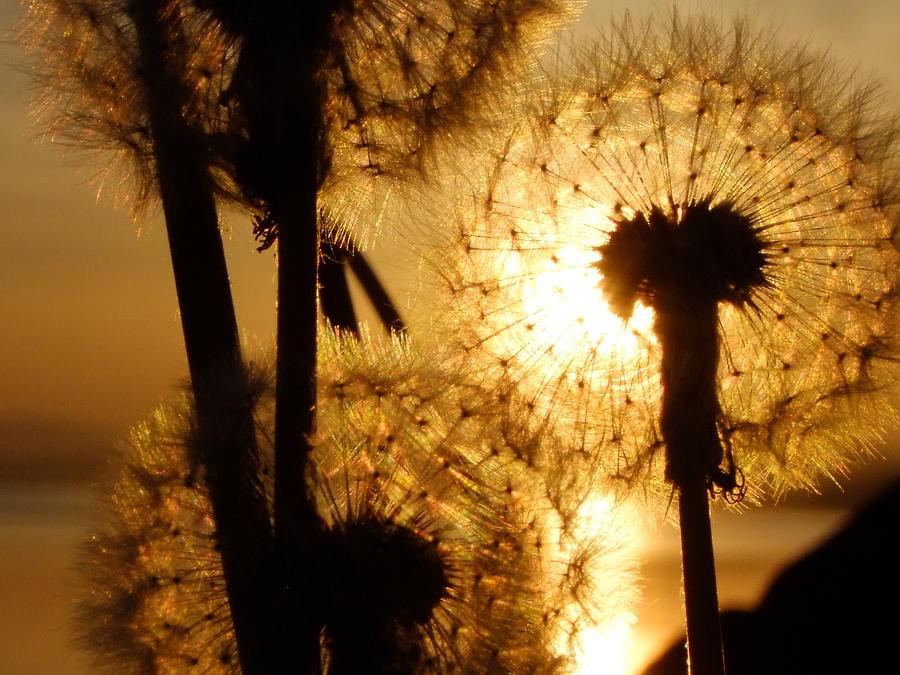 Dandelion Sunset by Nigel Cameron