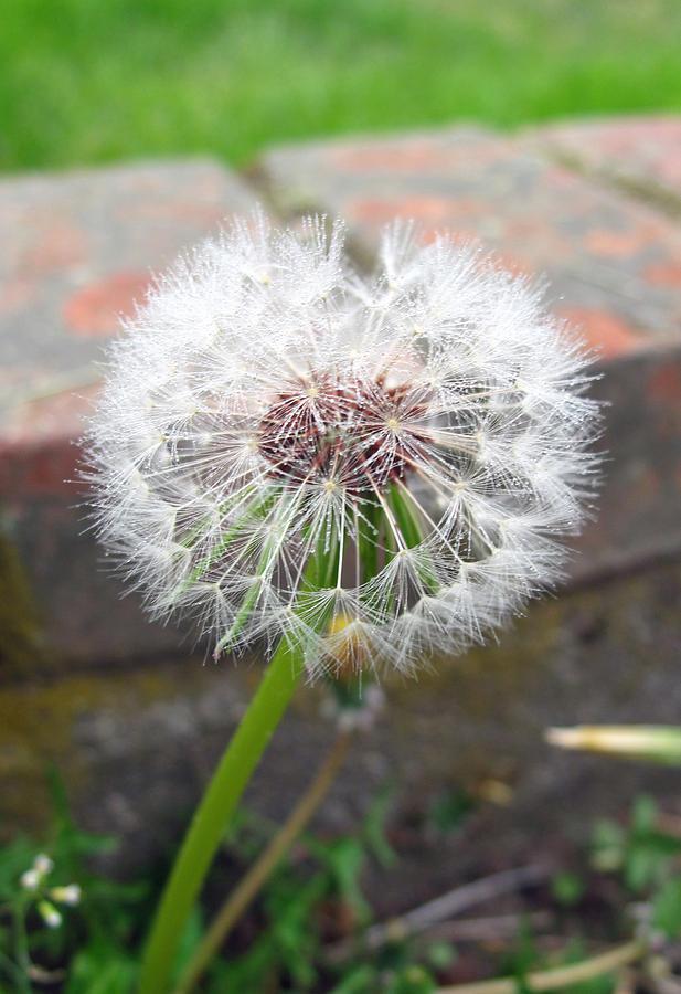 Weed Photograph - Dandelion Tada by Barbara McDevitt