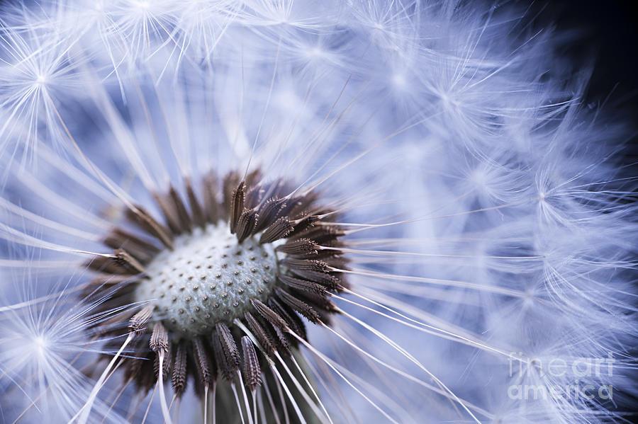 Dandelion Photograph - Dandelion With Seeds by Elena Elisseeva