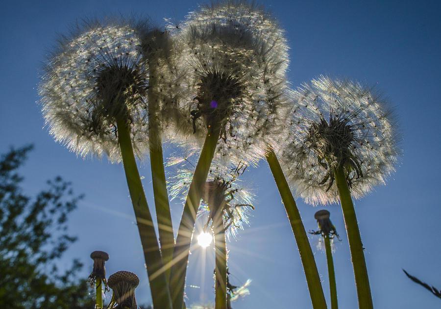 Nature Photograph - Dandelions In The Sun by Adam Budziarek