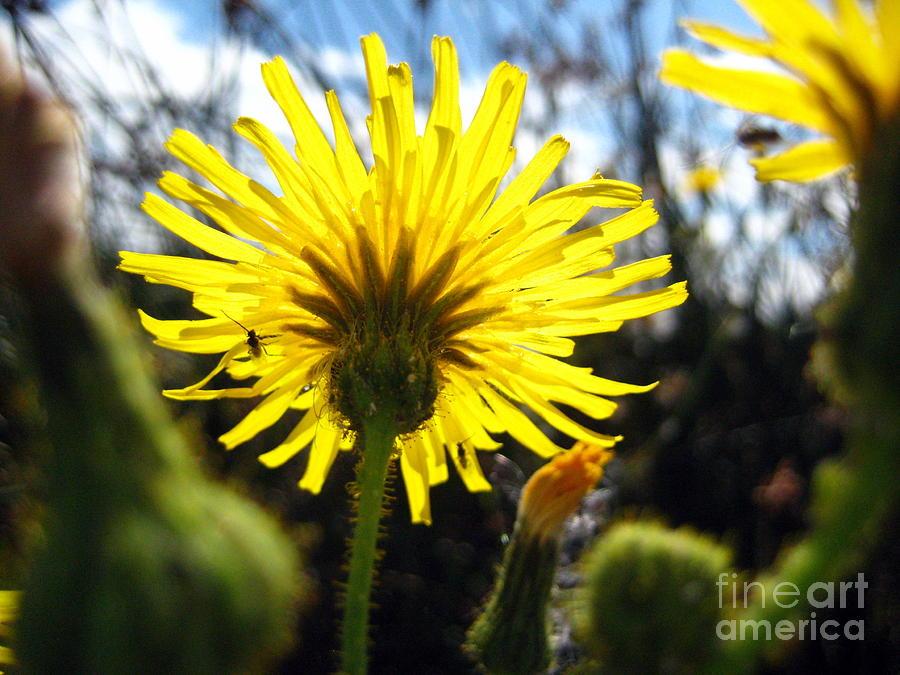Dandelion Photograph - Dandy Day Too by Kathy Bassett