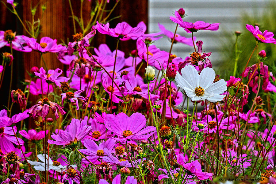 Pink Flowers Photograph - Dare To Be Different  by Rebecca Adams