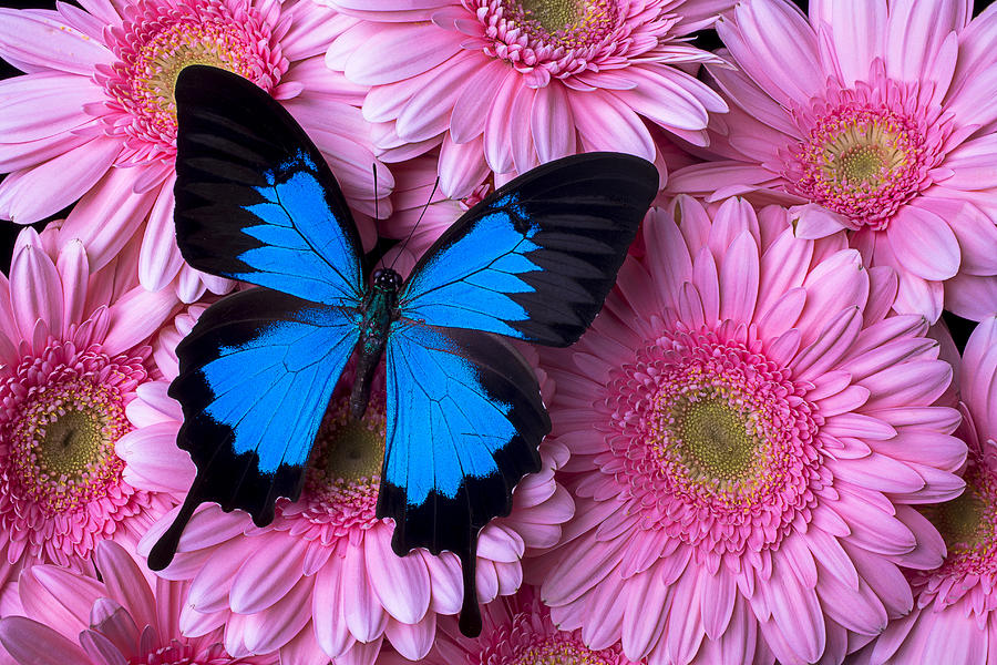 Pink Photograph - Dark Blue Butterfly by Garry Gay