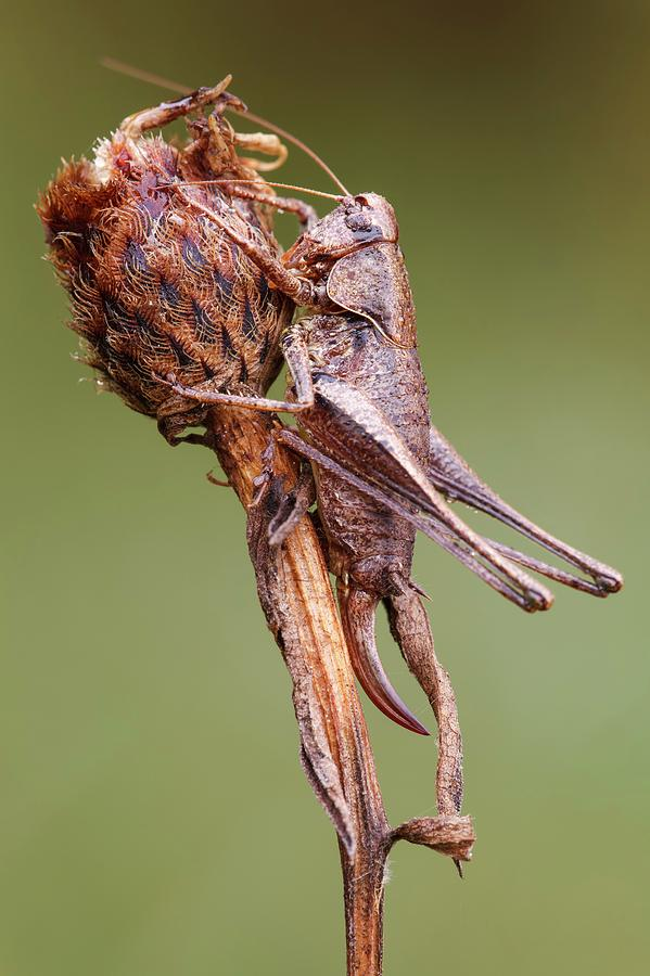 Adult Photograph - Dark Bush Cricket by Heath Mcdonald