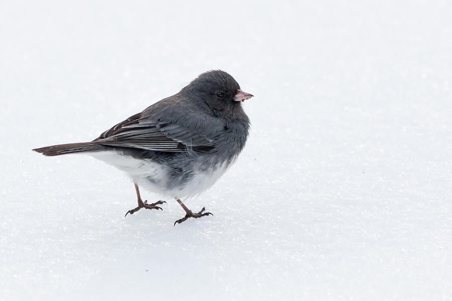 Bird Photograph - Dark-eyed Junco by Gaurav Singh