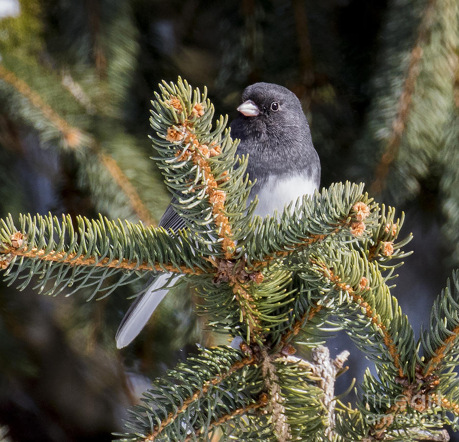 Canon Photograph - Dark-eyed Junco  by Ricky L Jones