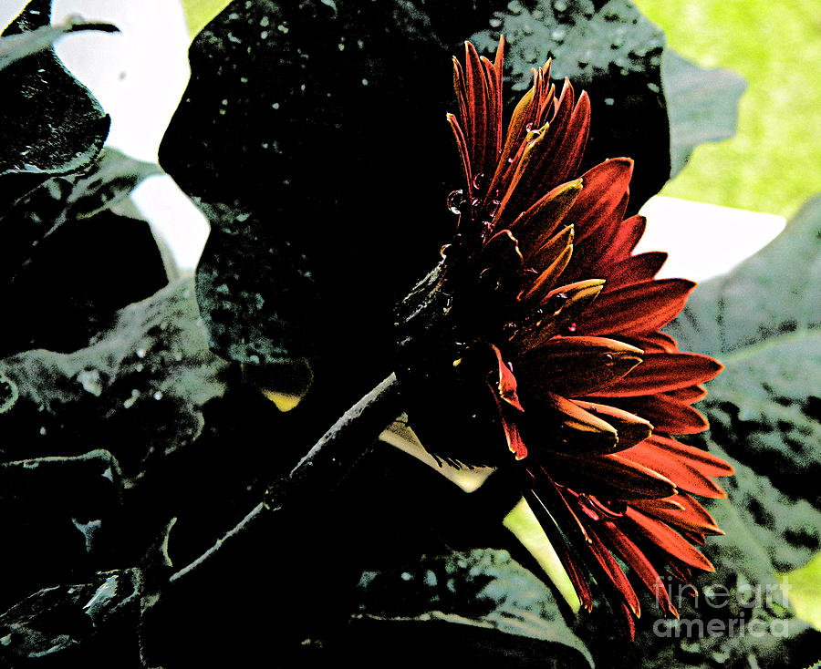Flower Photograph - Dark Love by Lorraine Heath