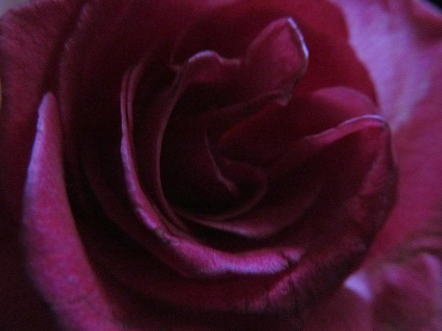 Dark Pink Rose Macro Photograph