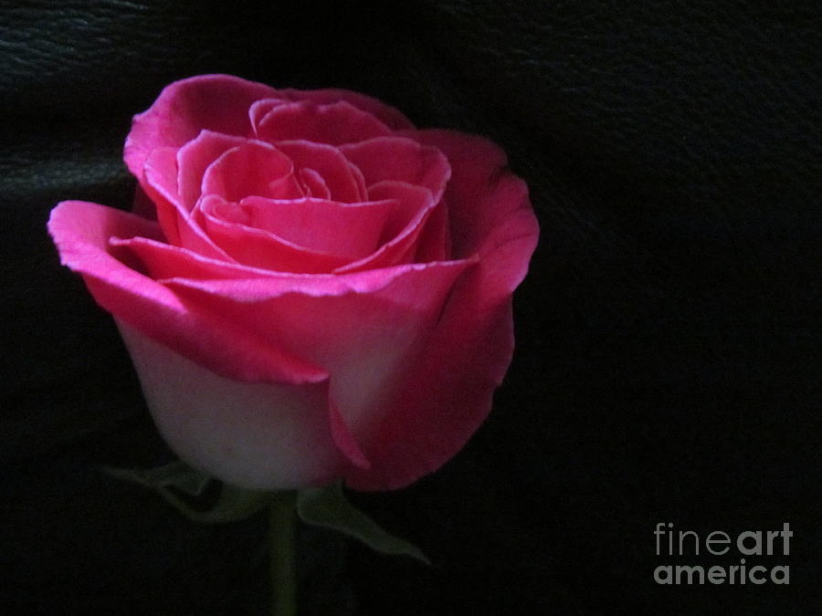 Dark Pink Rose On Black Background Photograph By Tina M Wenger
