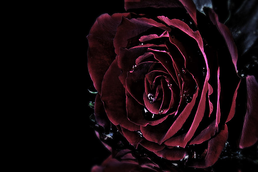 Dark Rose Photograph By Ann Charlotte Fjaerevik