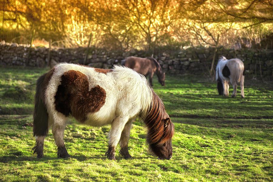 Dartmoor Ponies Photograph by Nicolamargaret