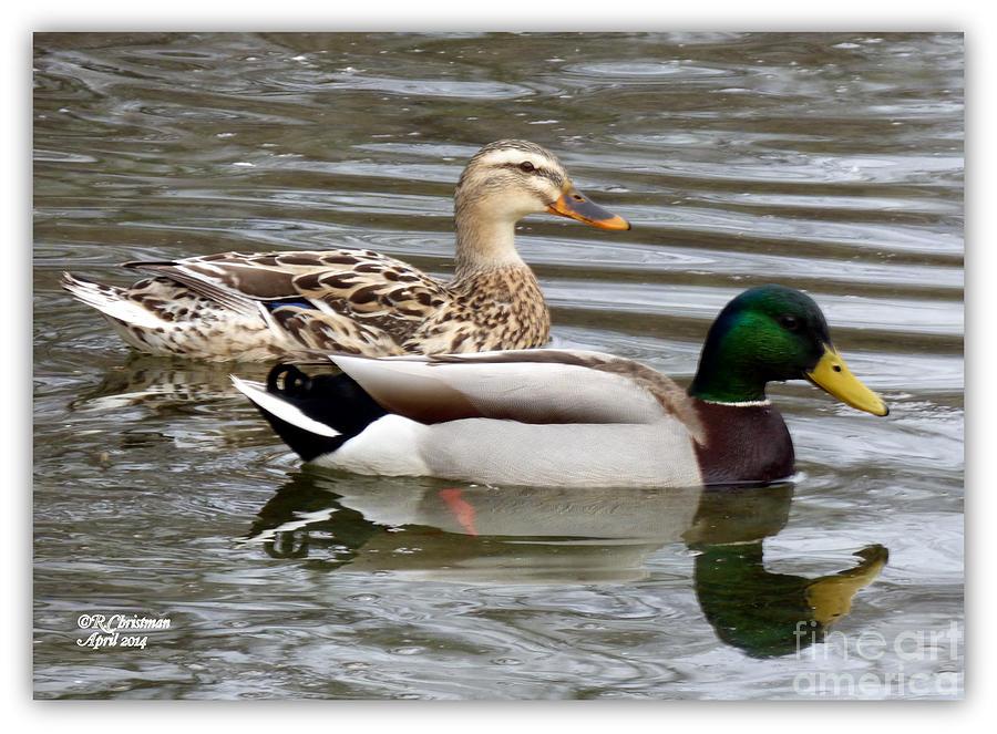 Ducks Photograph - Date Day by Rennae Christman