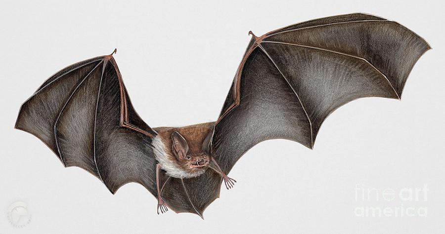 Bat Painting - Daubentons Bat Myotis Daubentonii - Murin De Daubenton-murcielago Ribereno-vespertilio Di Daubenton by Urft Valley Art