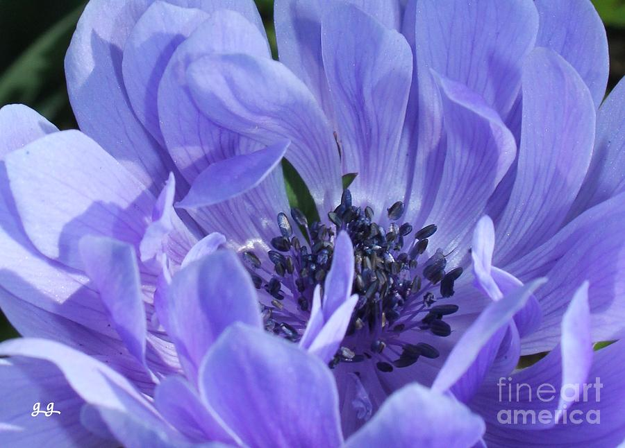 Anemone Photograph - Daughter Of The Wind by Geri Glavis