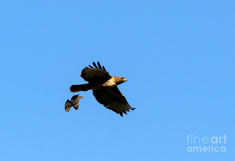 Hawk Photograph - David And Goliath by Mike  Dawson