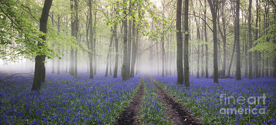 Hyacinthoides Non Scripta Photograph - Dawn Bluebell Wood Panoramic by Tim Gainey