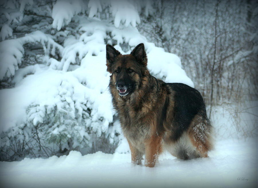 German Shepherd Dog Photograph - Dawns First Light by Sue Long