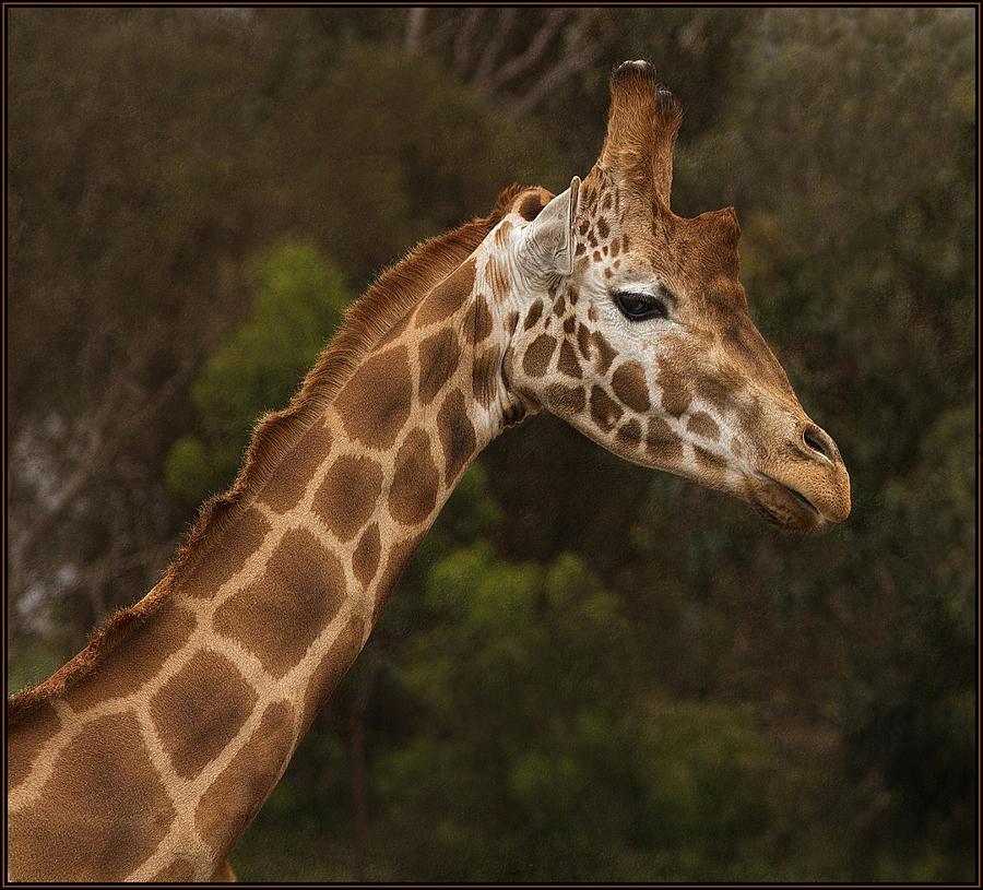Giraffe Photograph - Day Dreamer by Kim Andelkovic