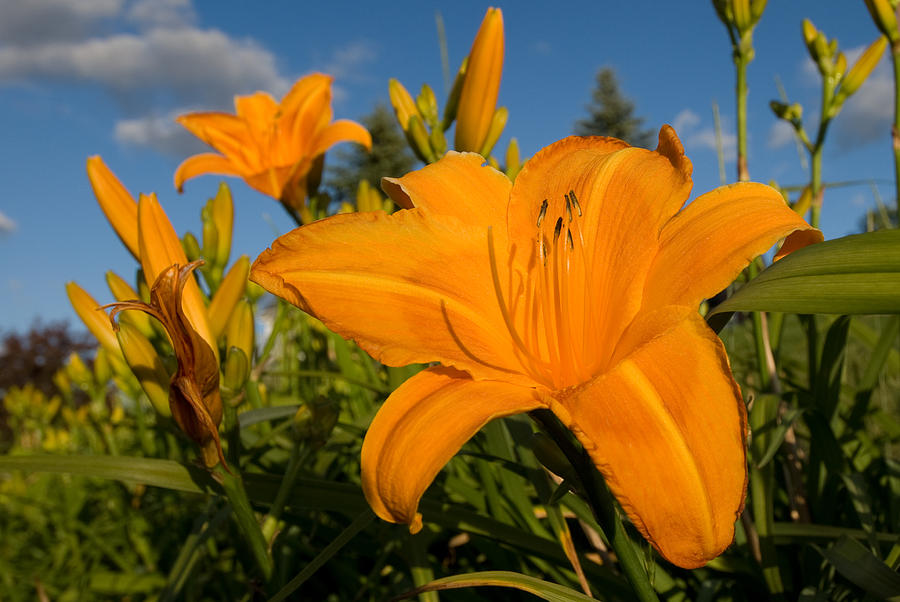 Flower Photograph - Day Lily Time by Paul Johnson